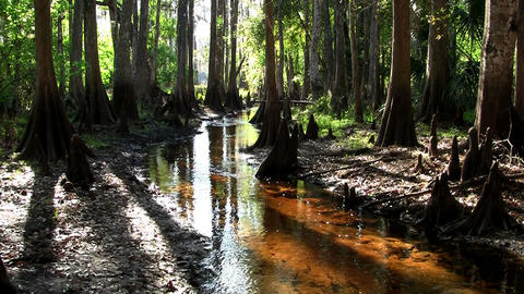 Pan across a coffee colored swamp in the Everglade Stock Video Footage