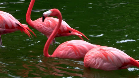 Flamingos flock together in the Everglades Stock Video Footage