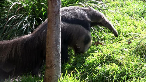 An anteater walks through the grass Footage