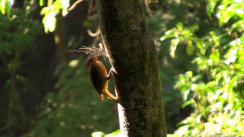 A beautiful woodpecker in the forest building a ne Stock Video Footage