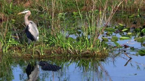 An alligator prowls near a bird in an Everglades s Stock Video Footage