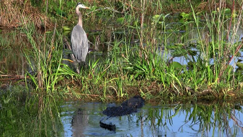 An alligator prowls near a bird in an Everglades s Footage