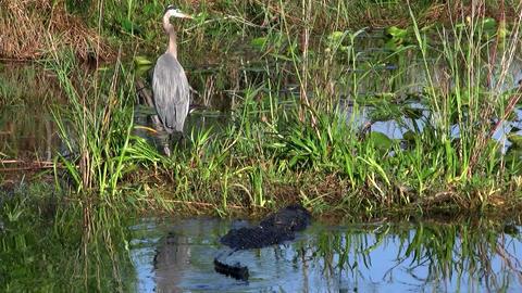 An alligator prowls near a bird in an Everglades s Footage