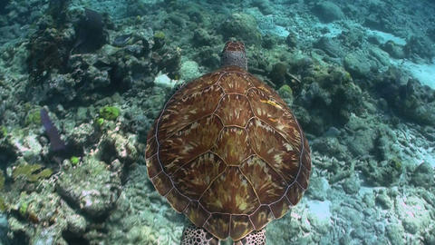 A turtle swims underwater Stock Video Footage
