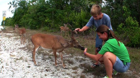 People feed deer along a road in Florida Footage