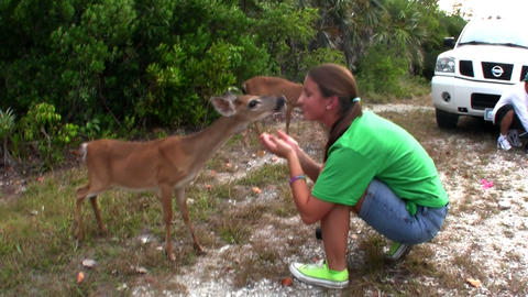 People feed deer along a road in Florida Footage