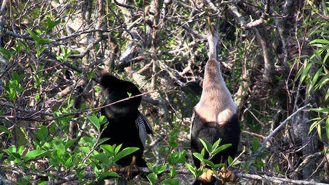 A paid of anhinga birds in a swamp in Florida Stock Video Footage