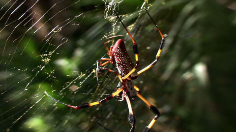 A large golden web spider with it's young Stock Video Footage