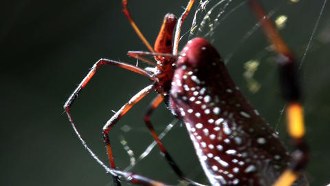 Close up of a large golden web spider with it's yo Stock Video Footage