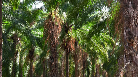 Palm trees sway in a palm grove forest Stock Video Footage