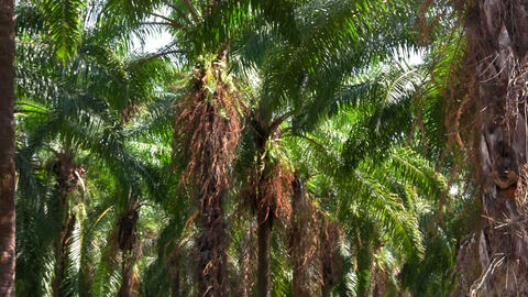 Palm trees sway in a palm grove forest Footage