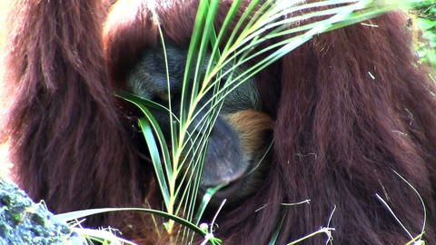 An orangutan lounges on the forest floor eating pa Stock Video Footage