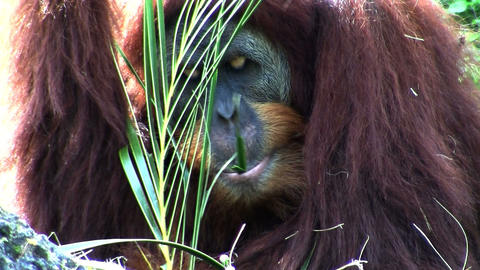 An orangutan lounges on the forest floor eating pa Footage