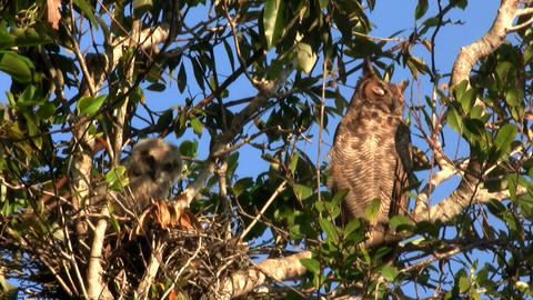 A great horned owl peers down from a tree in the f Stock Video Footage