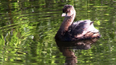 A pie billed grebe floats on a lake Stock Video Footage
