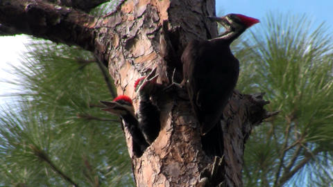 A pileated woodpecker on a tree Stock Video Footage