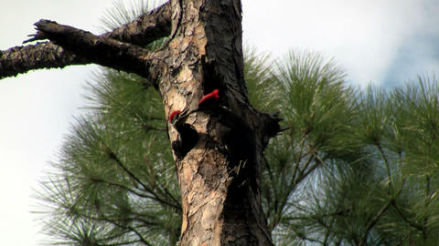 A pileated woodpecker on a tree Footage