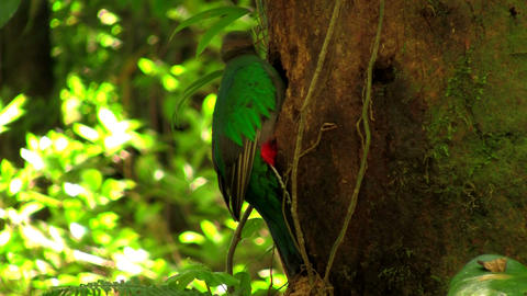 A quetzal parrot at his nest in Costa Rica rainfor Stock Video Footage