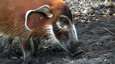 A red river hog forages in the mud Footage