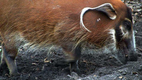 A red river hog forages in the mud Stock Video Footage