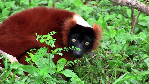 A red-ruffed lemur forages in the shrubbery Stock Video Footage