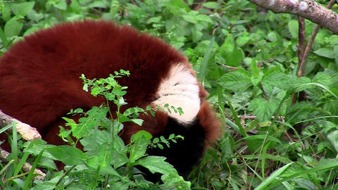 A red-ruffed lemur forages in the shrubbery Footage