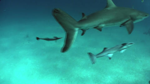 Good footage of a shark swimming underwater Stock Video Footage