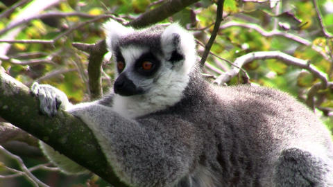 A ringtail lemur rests on a branch Footage