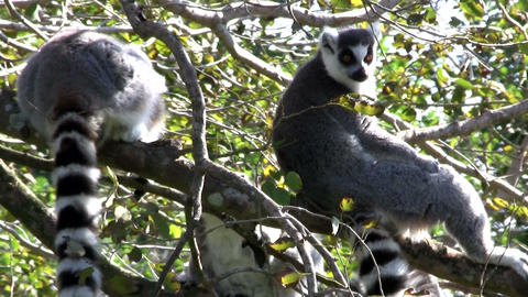 Two ringtail lemurs sit in a tree., ringtailed Stock Video Footage