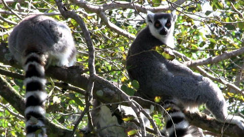 Two ringtail lemurs sit in a tree., ringtailed Footage