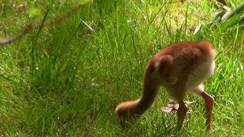 A snadhill crane chick walks in the grass Footage