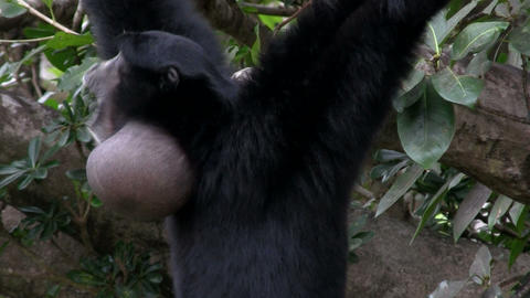 A siamang gibbon from Indonesia hangs in a tree Footage