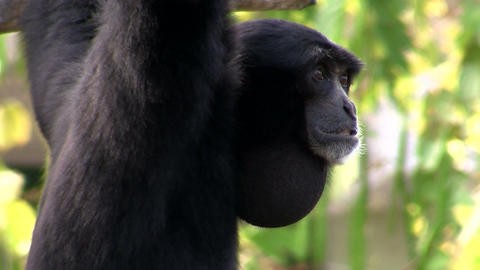 A siamang gibbon from Indonesia hangs in a tree Stock Video Footage