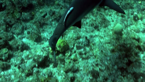 Underwater shot of a shark prowling the reef Stock Video Footage