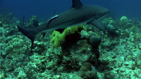 Underwater shot of a shark prowling the reef Footage