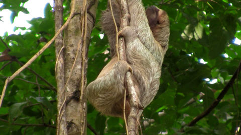 A sloth moves slowly in a tree Stock Video Footage
