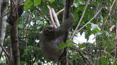 A sloth eats in a tree Stock Video Footage