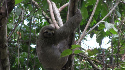 A sloth eats in a tree Footage