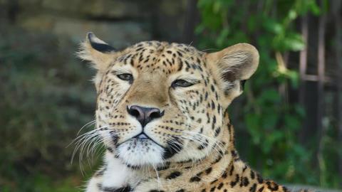 jaguar closeup portrait, 4k Footage