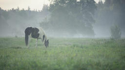 Horse grazing on a foggy pasture next to a forest Footage