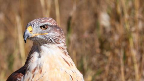 Closeup of a Female Ferruginous Hawk Live Action