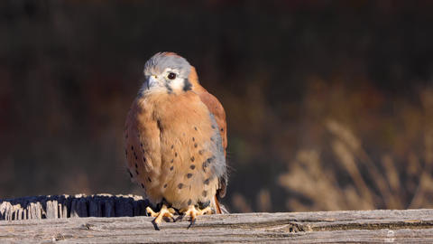 Kestrel perched on a fence Live Action