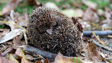 Cute sleeping hedgehog erinaceus europaeus rolling up in autumn czech landscape Live Action