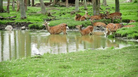Herd of Fallow Deers Live Action
