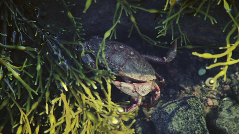 Crab Trying to Hide Underwater Live Action