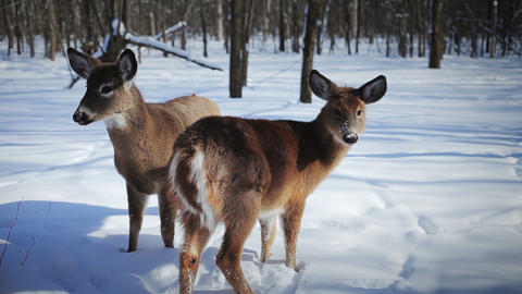 Deers in Nature with his Winter Coat Live Action
