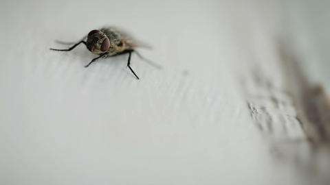 Nasty Housefly on a Window Pane Live Action