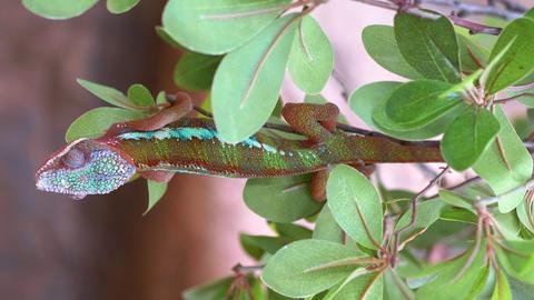 Vertical video of Chameleon on the branch in 4k slow motion 60fps Live Action