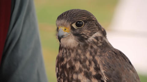 Trained falcon sitting on woman hand at historical festival - slow motion Live Action