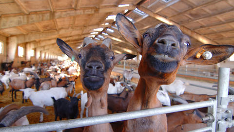 two goats on a goat farm close up looking at the camera. Big goat farm with Live Action